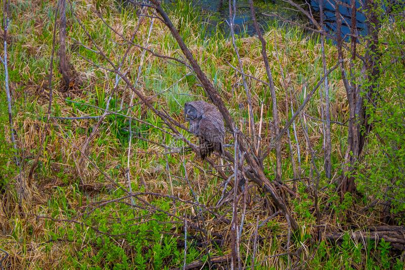 Mooie grote gehoornde uil, Bubo-virginianus, in het Park van Yellowstone Nationa stock foto