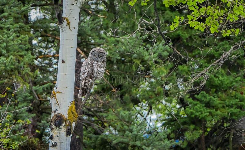 Mooie grote gehoornde uil, Bubo-virginianus het stellen over een tak in een boom in het bos in het Nationale Park van Yellowstone royalty-vrije stock afbeelding