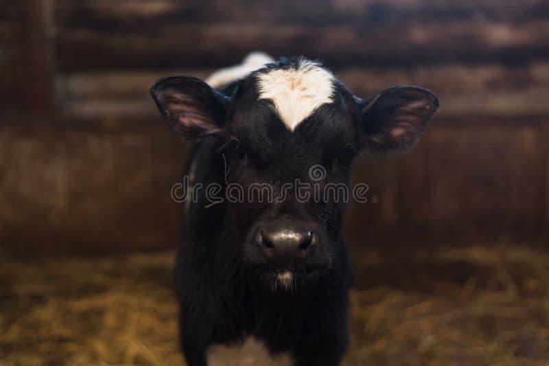 Mooie grote koe op het landbouwbedrijf onder heel wat hooi royalty-vrije stock foto's