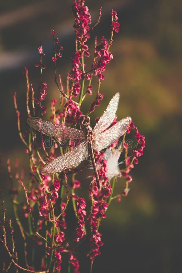 Mooie grote libel met dalingen van de zitting van de ochtenddauw op een bloem het matte kleuren stock foto's