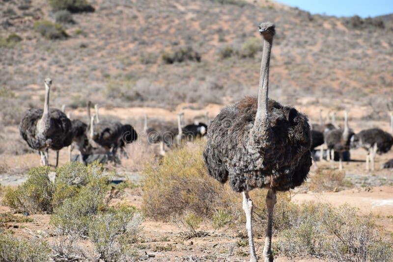 Mooie grote struisvogels op een landbouwbedrijf in Oudtshoorn, Weinig Karoo, in Zuid-Afrika stock fotografie