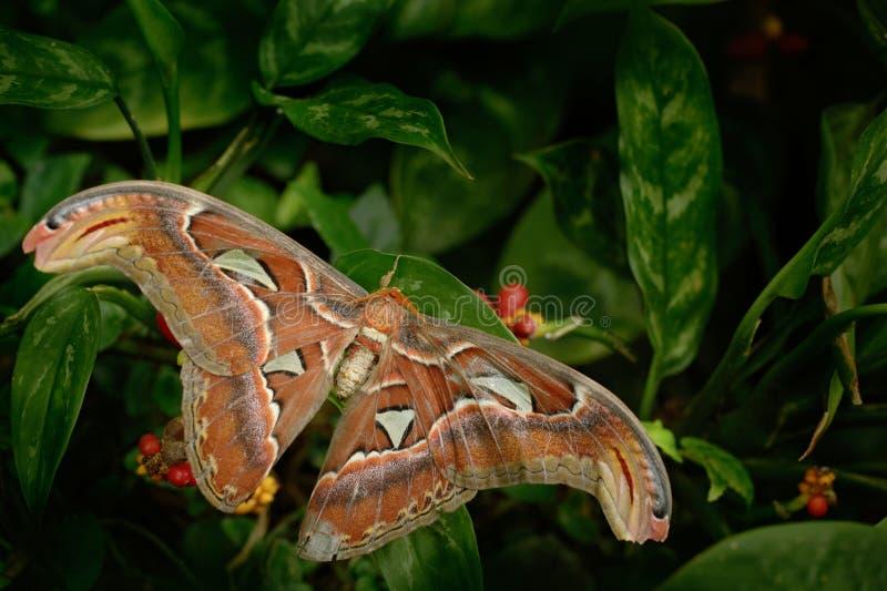 Mooie grote vlinder, Reuzeatlasmot, aka, Attacus-atlas in habitat, India royalty-vrije stock foto
