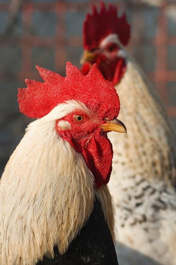 Mooie hanen die de zon zitten stock foto's