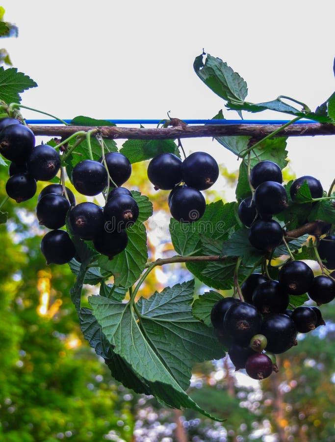 Mooie, heerlijke blackcurrant bessen op een tak royalty-vrije stock fotografie