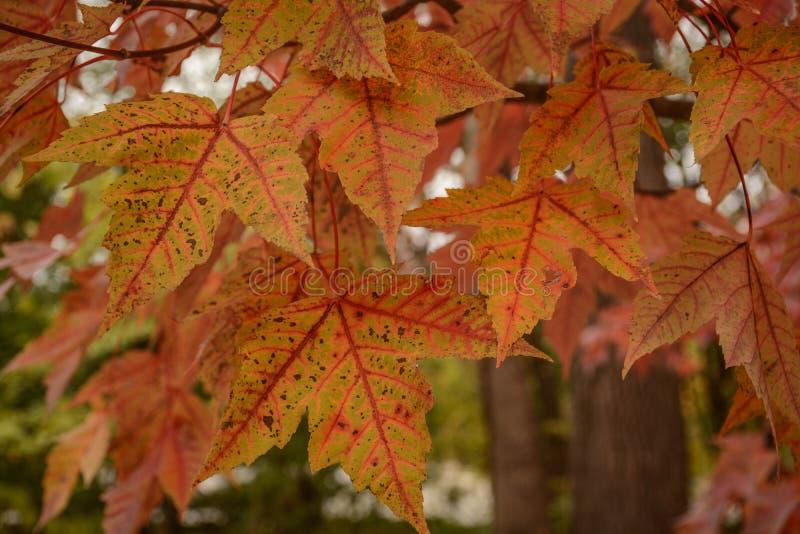 Mooie helder Gekleurde Dalingsbladeren stock foto