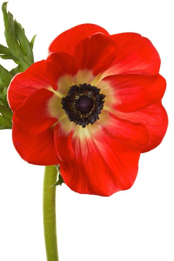 Mooie helder rode bloem royalty-vrije stock fotografie