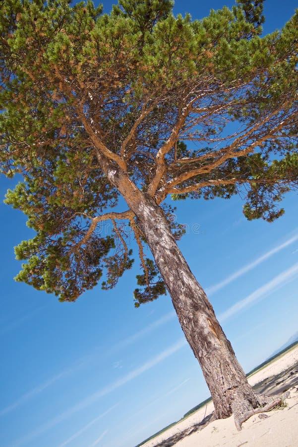 Mooie heldere altijdgroene pijnboom op de witte zandige kust royalty-vrije stock afbeeldingen