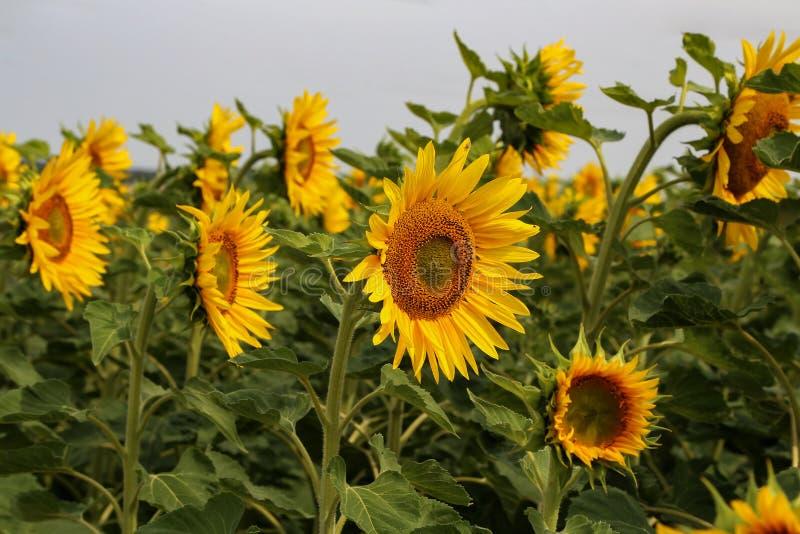 Mooie heldere gekleurde zonnebloemen en groene installaties royalty-vrije stock afbeeldingen