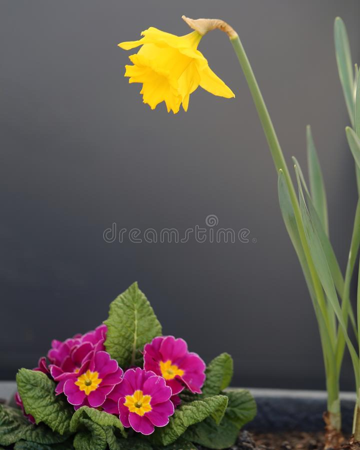 Mooie Heldere Gele Gele narcis en Kleine Roze Bloemen in Grey Flower Pot stock fotografie