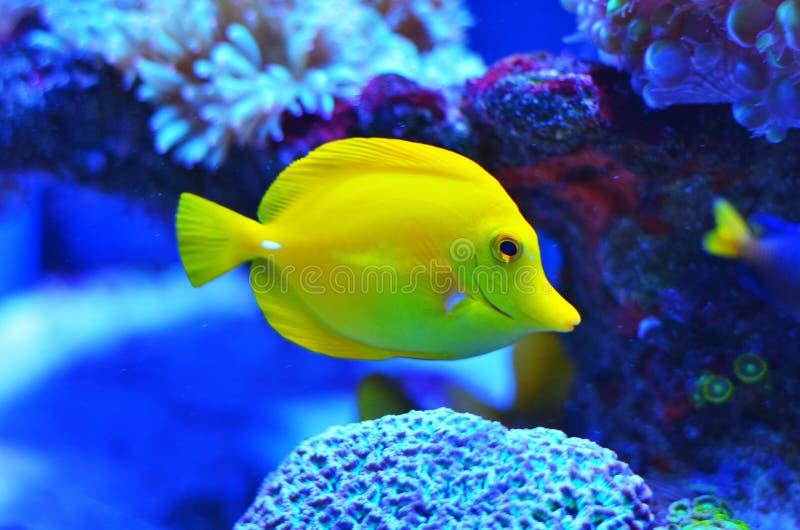 Mooie heldere gele vissen in schoon blauw water royalty-vrije stock fotografie