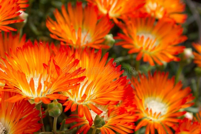 Mooie heldere Oranje Vygie of de Oranje Ijsinstallatie bloeien succulent van Goudhoudende succulents van Lampranthus stock afbeelding