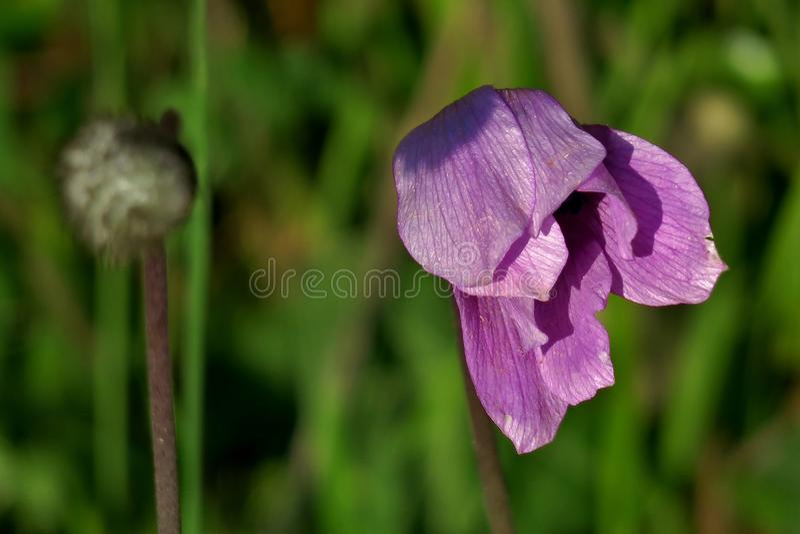 Mooie heldere purpere bloem op gebieds dichte omhooggaand stock foto's
