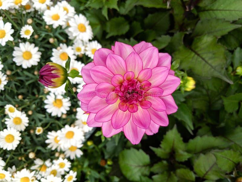 Mooie heldere roze Dahliabloem die boven 2 verschillende onduidelijk beeldachtergronden bloeien van wit vers madeliefje en donker stock afbeelding