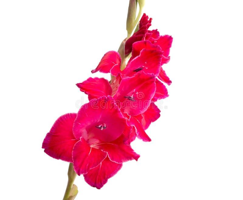 mooie heldere roze geïsoleerde gladiolenbloem stock fotografie