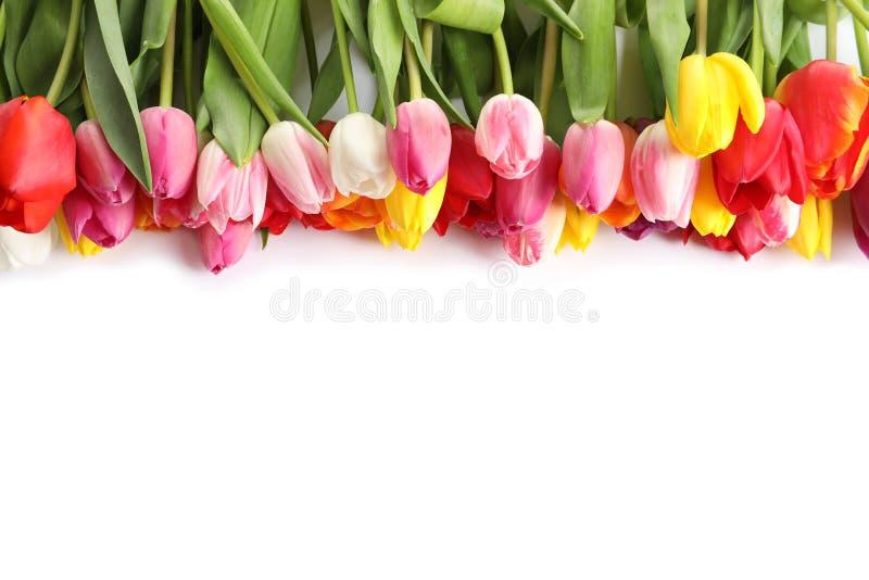 Mooie heldere tulpen op witte achtergrond enkel Geregend stock foto's