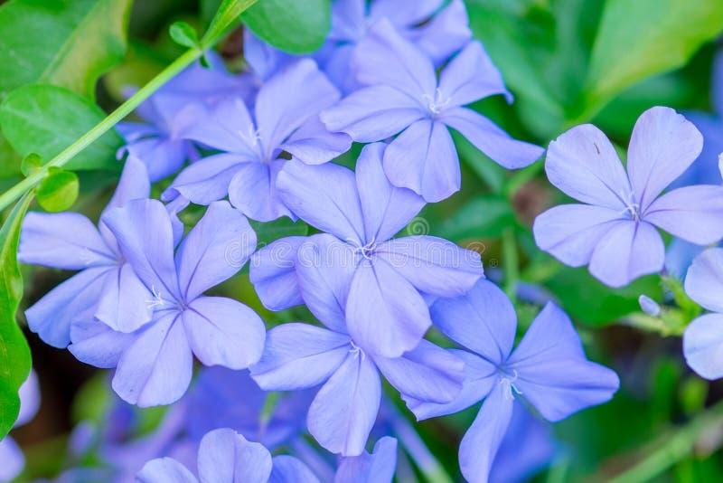 Mooie hemel blauwe kaap leadwort stock afbeeldingen