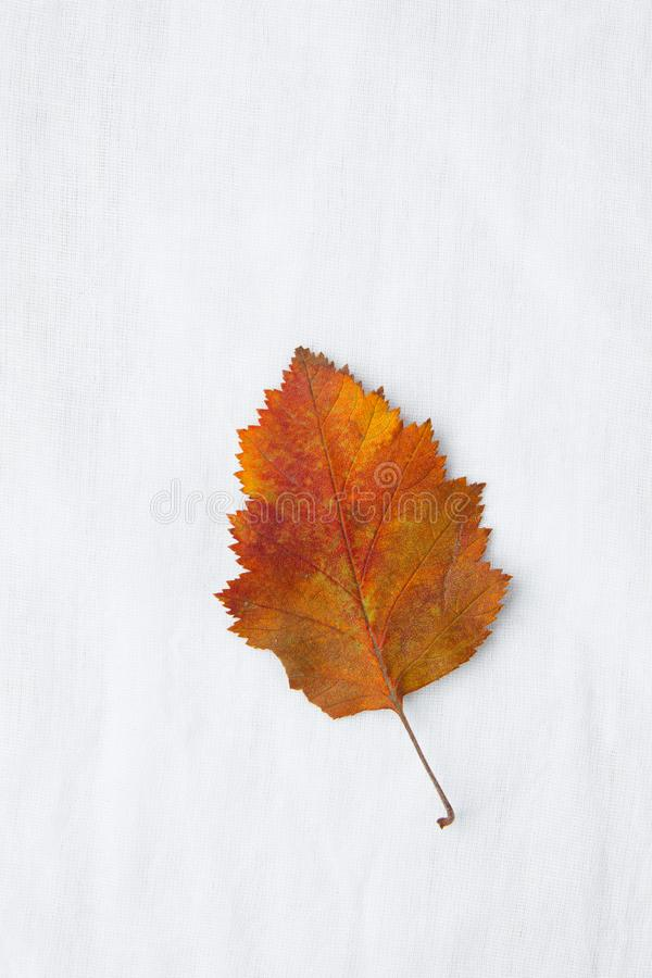 Mooie herfstachtergrond Één Droog Oranjegeel Rood Groen Blad op Witte Katoenen Linnenstof Terug naar Schooldankzegging stock fotografie