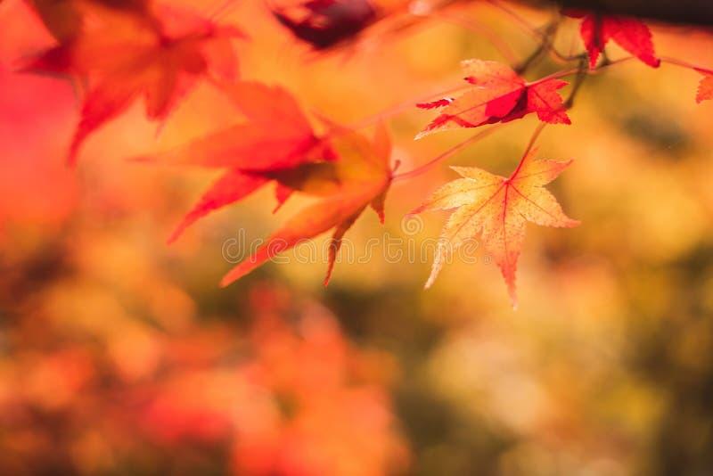 Mooie herfstmakelaarbladeren in de natuur royalty-vrije stock afbeeldingen