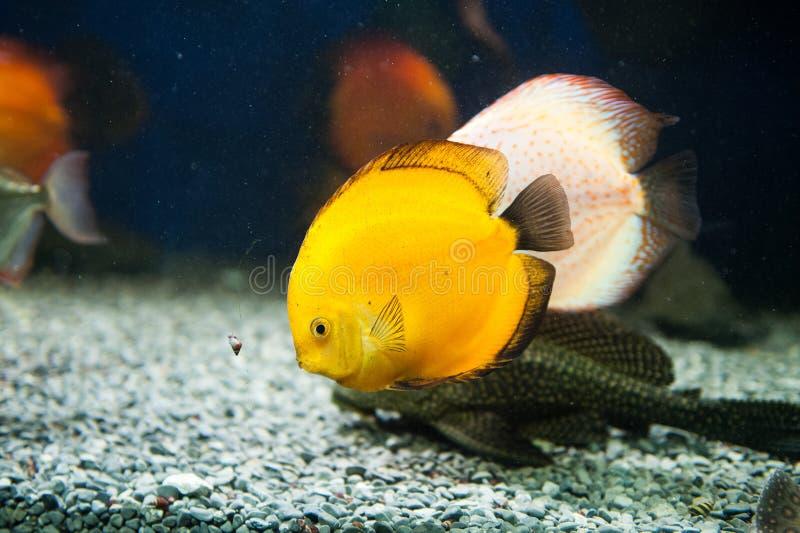 Mooie het aquariumvissen van het zebrasoma zoute water royalty-vrije stock afbeeldingen