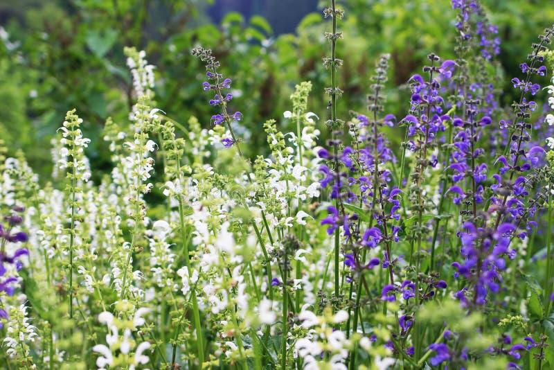 Mooie het bloeien purpere en witte wijze Salvia officinalis Kruidenbloemgebied in openluchttuin Geneeskrachtige installatie stock afbeelding