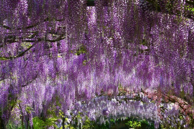Mooie het bloeien purpere wisteria Beroemde wisteriatunnel bij Bardini-tuin in Florence Giardini Bardini stock foto's