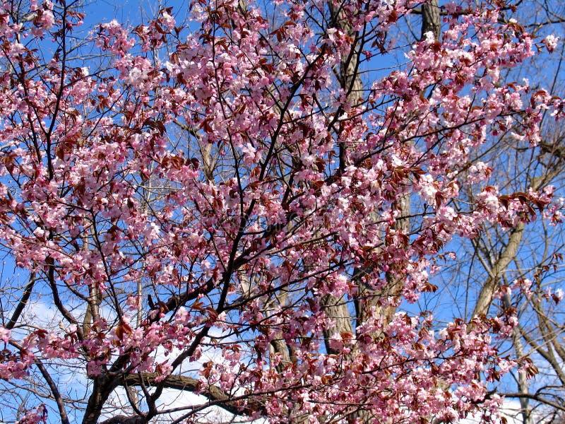 Mooie het bloeien sakura Cherry Blossom In Japan, symboliseert sakura de wolken royalty-vrije stock foto