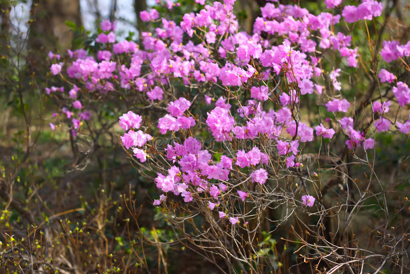 Mooie het close-upbloesem van rododendrondauricum royalty-vrije stock afbeelding