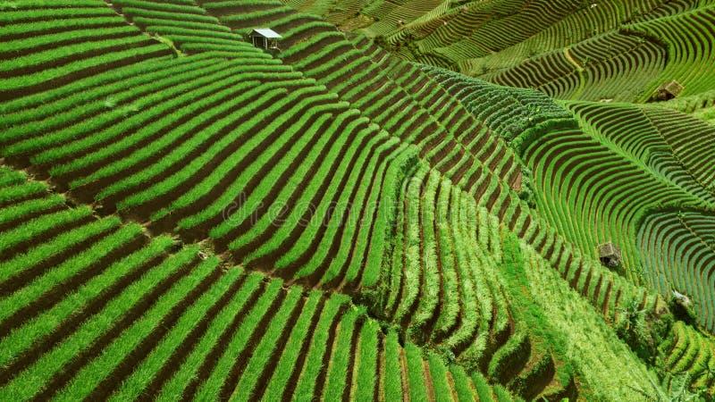 Mooie het landschapsmening van rijst terrasvormige gebieden in Indonesië stock afbeelding