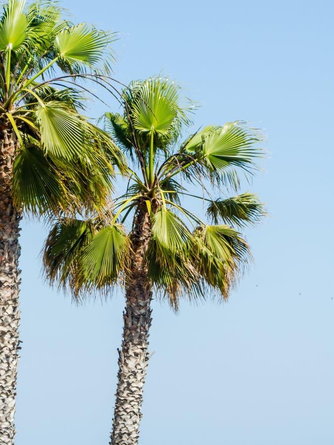 Mooie het uitspreiden palm, uitheemse gewassensymbool van vakantie, stock afbeelding
