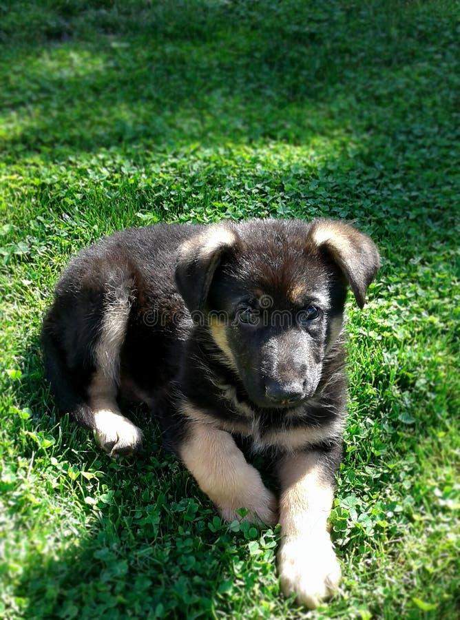 Mooie het wachten zeer kleine hond van het Duitse herderpuppy royalty-vrije stock afbeelding