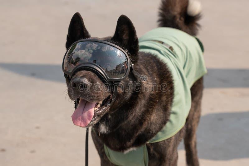 Mooie Hond die de achtergrond van zonglazen dicht omhoog dragen stock fotografie