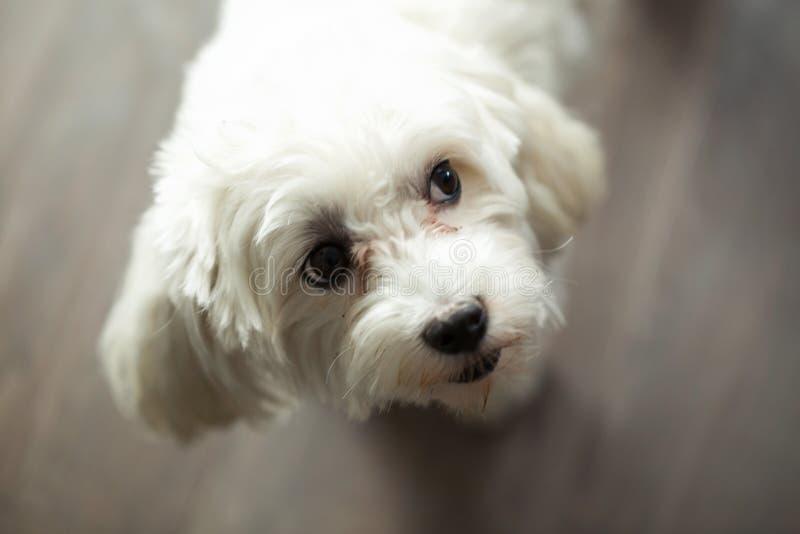 Mooie hond die haar hoofd met een nieuwsgierige uitdrukking overhellen terwijl thuis het kijken zijdelings stock afbeelding
