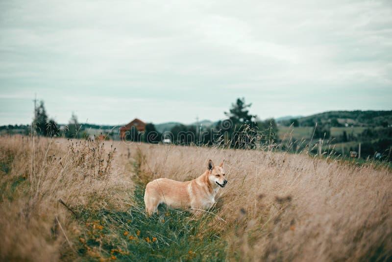 Mooie hond die zich in zonnige weide op achtergrond van blokhuis op heuvels in bergen bevinden Het landelijke eenvoudige leven in stock foto