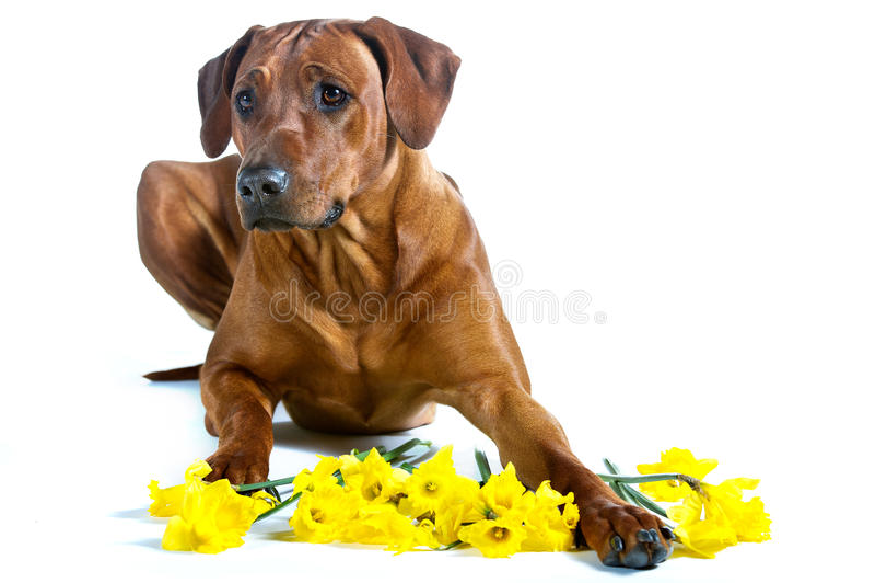 Mooie hond rhodesian ridgeback die in gele bloemenisola leggen royalty-vrije stock afbeelding
