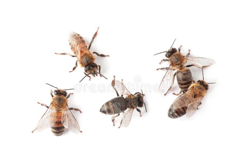Mooie honingbijen op witte achtergrond, royalty-vrije stock afbeeldingen