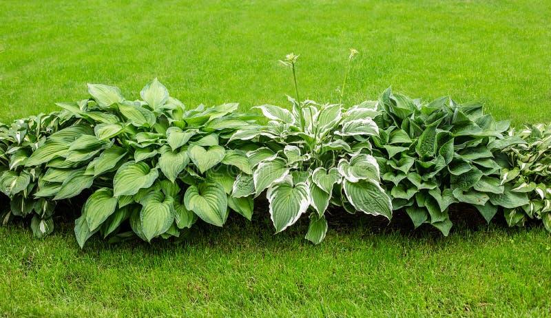 Mooie Hosta-bladerenachtergrond Hosta - een sierplant voor het modelleren van park en tuinontwerp stock foto