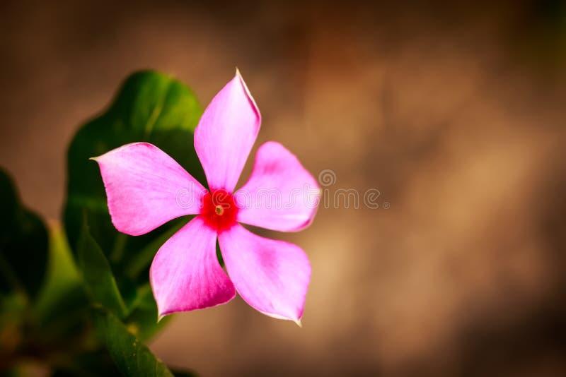 Mooie Ijzerkruidbloem in een tuin royalty-vrije stock fotografie