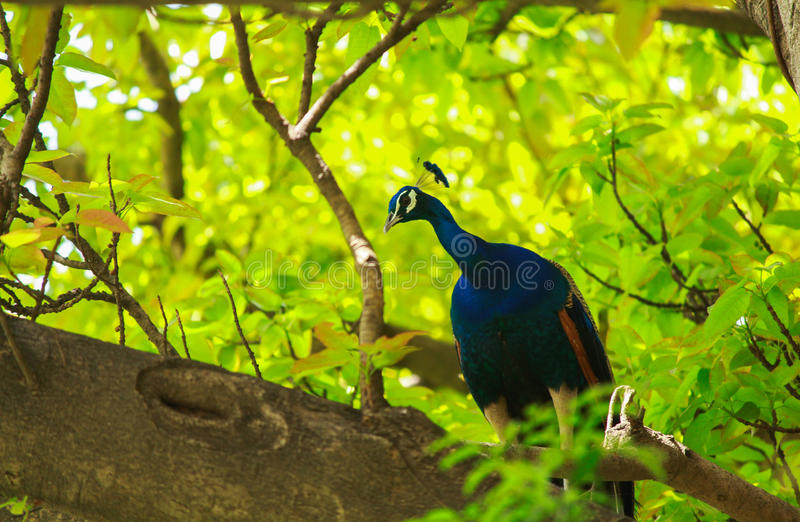 Mooie Indische pauwzitting op een boom van een park stock foto's