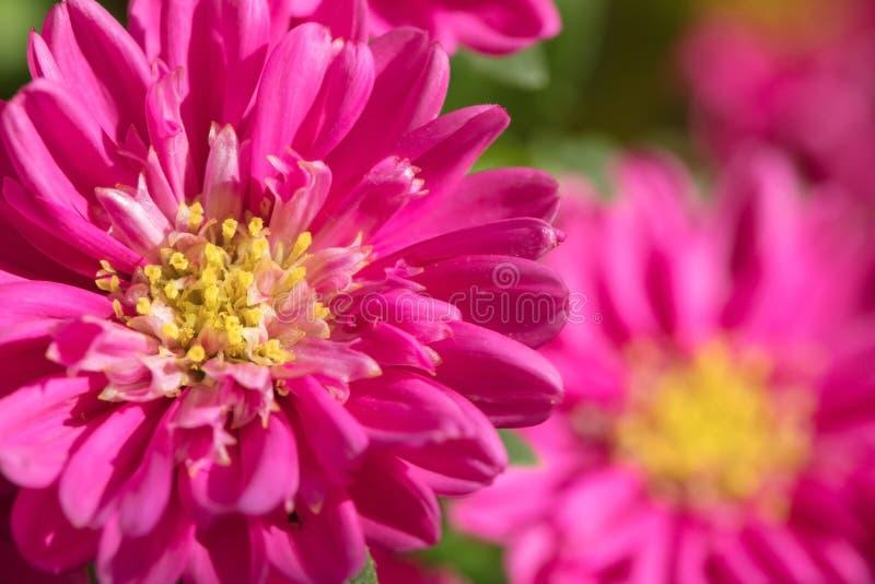 Mooie ingemaakte bloem Mooie Astra is rood wat in het huis groeit royalty-vrije stock afbeeldingen