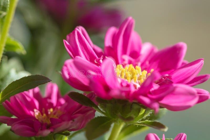 Mooie ingemaakte bloem Mooie Astra is rood wat in het huis groeit stock foto