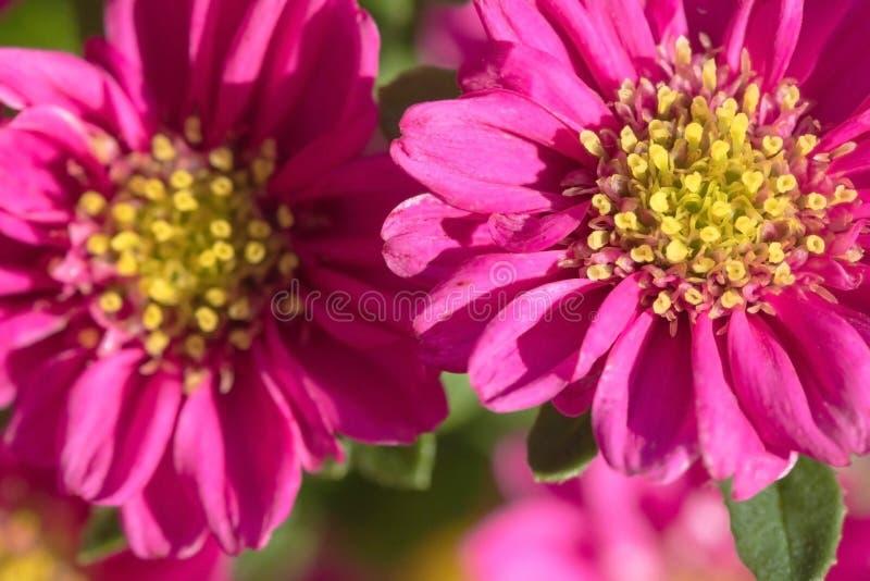 Mooie ingemaakte bloem Mooie Astra is rood wat in het huis groeit royalty-vrije stock foto's