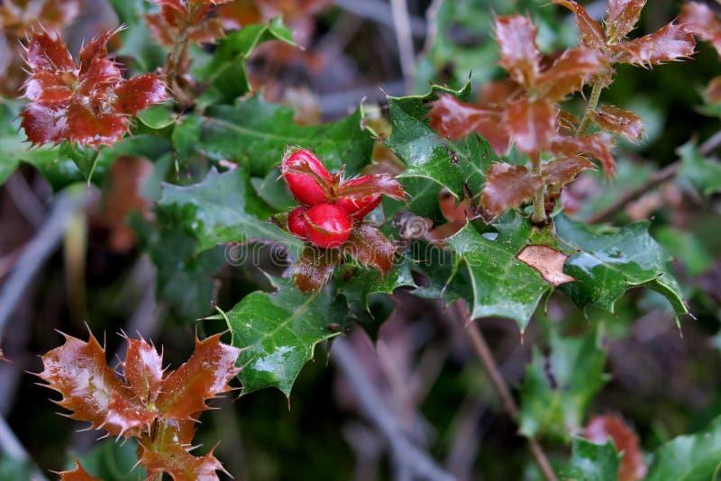 Mooie installatie met groen-kastanjebruine bladeren en kleine rode bessen royalty-vrije stock afbeeldingen