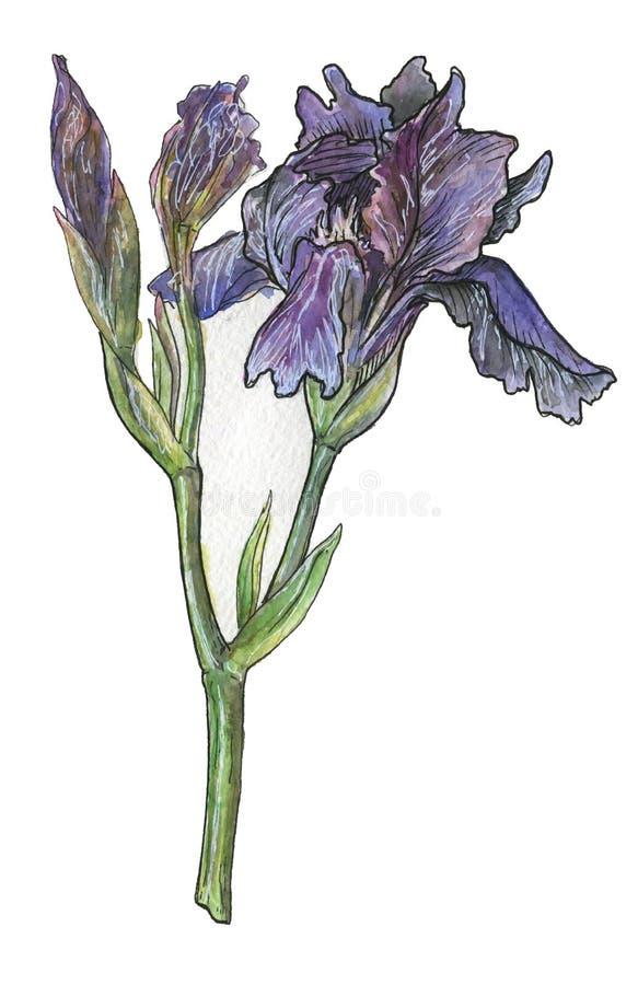 mooie iris in waterverf stock afbeelding