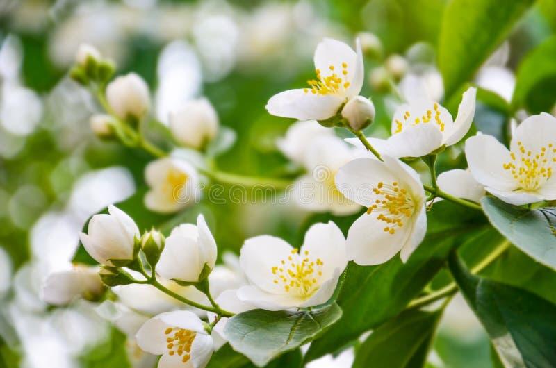 Mooie Jasmijn Jasmine Blossom stock afbeeldingen