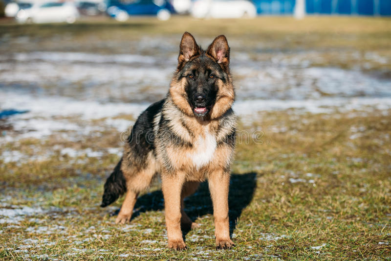Mooie Jonge Bruine Duitse herder Puppy Dog royalty-vrije stock foto's