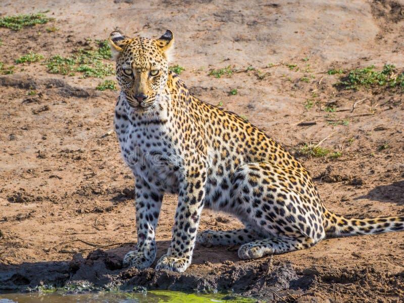 Mooie jonge luipaard met intensieve ogen die fotograaf bij waterhole, het Nationale Park van Kruger, Zuid-Afrika bekijken stock fotografie