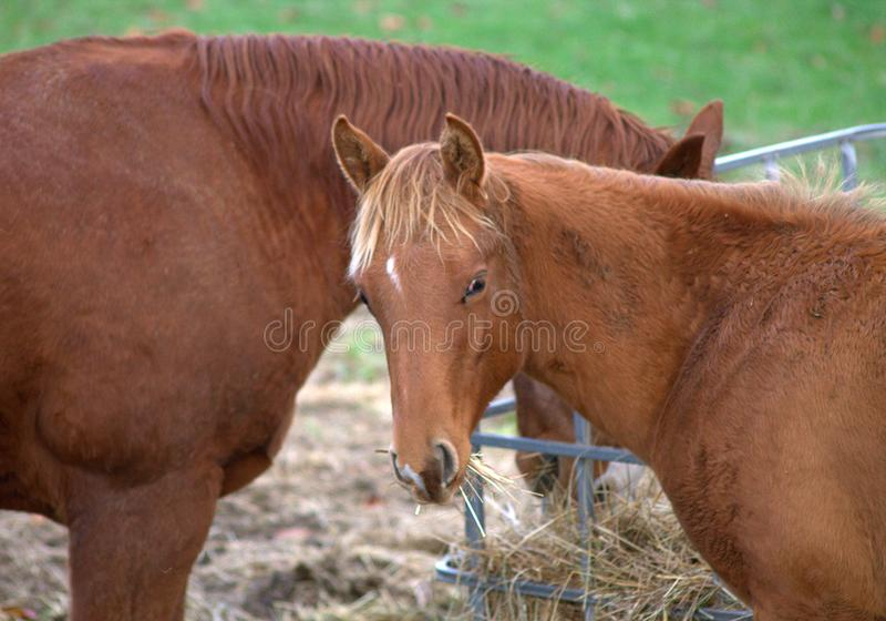 Mooie jonge paarden die hooi delen bij een paardlandbouwbedrijf royalty-vrije stock fotografie