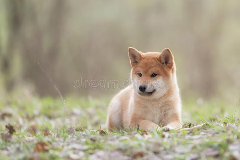 Mooie Jonge Rode het Puppyhond van Shiba Inu royalty-vrije stock afbeeldingen
