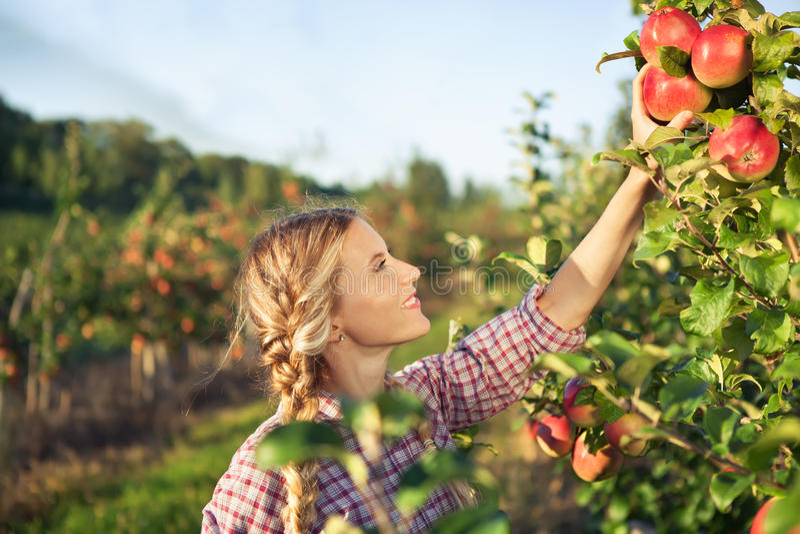 Mooie jonge vrouw die rijpe organische appelen plukken royalty-vrije stock fotografie