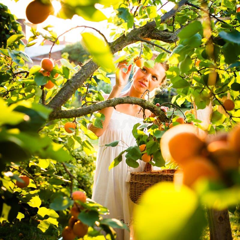 Mooie, jonge vrouw het plukken aangestoken abrikozen stock afbeeldingen